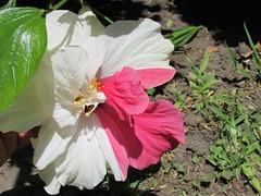 Una lata de pintura por ac !! (Martincho Lema) Tags: flor hibiscus rosachina