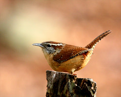Carolina Wren 25 (Thryothorus ludovicianus) (egdc211) Tags: bird nature aves birdwatcher carolinawren thryothorusludovicianus backyardbirding newenglandbird