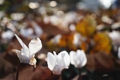 White (Muratkaanalp) Tags: flowers turkey 50mm sony istanbul explore nex6