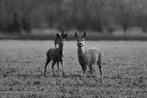 Roe Deer - Full Alert.