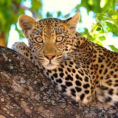 Irresistible (John Kok) Tags: leopard botswana pantherapardus okavangodelta sandibe april2013 nikkor40028vr