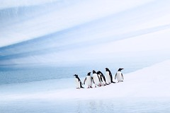 A Little Bit Closer (Carolyn Cheng) Tags: antarctica gentoopenguins wilhelminabay