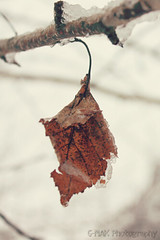The Aftermath Of Nemo (G-MAK Photography) Tags: winter snow storm outdoors leaf frost blizzard winterstormnemo