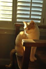 Otis is pure gold. (rootcrop54) Tags: otis ginger white orange tabby masked cat window shutters light chair cc8000 macska kedi 猫 kočka kissa γάτα köttur kucing gatto 고양이 kaķis katė katt katzen kot кошка mačka maček kitteh chat ネコ orangeness