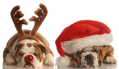 english bulldogs dressed up as santa and rudolph (tontonweb) Tags: santa christmas xmas red portrait dog pet white holiday canada cute english face wearing hat animal puppy studio festive season reindeer nose costume friend funny humorous december glow peace expression pair religion seasonal joy adorable canine bull bulldog wear sleepy domestic gift tired doggy greetings rudolph merry ho brindle breed pooch licking tow wrinkle isolated spoiled antler pampered wrinkly purebred obedient