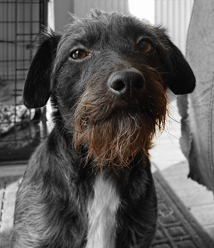 portrait dog brown jackrussell selectivefocus selectivecolour sonyslta65v