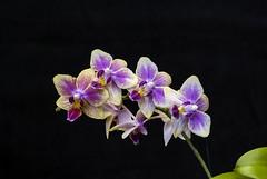 2014-02-24 573 (pdophoto) Tags: orchid pentax mf manualfocus primelens kmount k10d smcpentaxk5518
