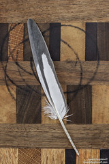 Cockatiel Feather (Electricity Mule) Tags: avian bird birds cockatiel feather parrot stilllife wing wingfeather wood berkeley california unitedstates