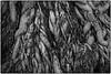 Roots (oosh) Tags: bw tree monochrome roots tangle sydneybotanicalgardens 105mm fuju xt1