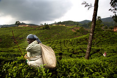 The Tea Pickers of Munnar, Kerela, India