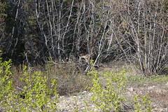 Lynx in the woods (Beard&Glasses) Tags: canada nature animal animals fauna canon rockies rebel flora bc britishcolumbia wildlife north columbia yukon bigcat british lynx goldrush xsi yt 2014 atlin exploreyukon