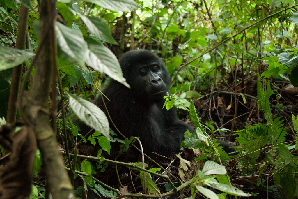 Male Mountain Gorilla (5 y.o.) - Bwindi Impenatrable Forest, Uganda
