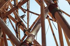 BigBamboo (AN :: SO) Tags: bird 50mm bamboo