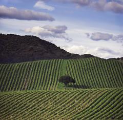 A Solitary Tree (pixelmama) Tags: california pixelmama napavalley vineyards tree asolitarytree silveradotrail sonomacounty explore