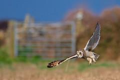 Short-eared Owl (redmanian) Tags: shortearedowl portlandbill ianredman bird dorset inflight