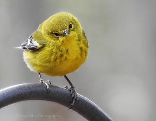Sweetest Pine Warbler Ever