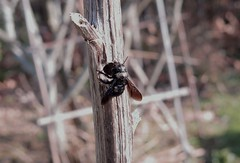 Early - 02 III 2016 (el.gritche) Tags: hymenoptera france 40 garden nest male xylocopinae xylocopairis apidae bee abeille