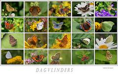 Dagvlinders /Butterfly (TeunisHaveman) Tags: vinder butterfly collage garden tuin dagvlinder koolwitje dagpauwoog kleine vos kleinevos aurelia citroenvlinder bontzandoogje boomblauwtje kleinevuurvlinder distelvlinder icarusblauwtje geaderd witje muntvlindertje landkaartje kolibrivlinder