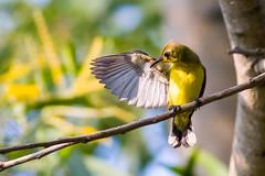 _MG_1103.jpg (xentinel2) Tags: female birds anchorvalecommunityclub olivebackedsunbird singapore sg