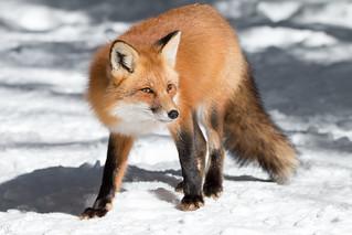 Slinky the fox