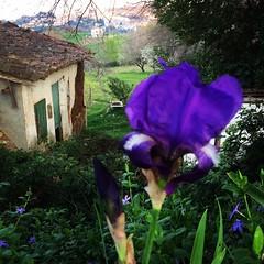 Di lilla e di verde . (esterinaeliseo1) Tags: vintage panorama landscape lilla flower iris