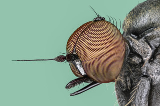 Hybotidae - Hybos spec.  /  Buckeltanzfliege-hump dance fly