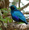 Greater Blue-eared Starling (Lamprotornis chalybaeus) (berniedup) Tags: lowersabie kruger greaterblueearedstarling lamprotornischalybaeus starling taxonomy:binomial=lamprotornischalybaeus