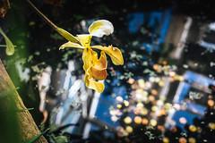 (Luurankorotsi) Tags: orchid orchids turunyliopistonkasvitieteellinenpuutarha puutarha botanical turkuuniversitybotanicalgarden garden botanicalgarden flora flower bloom water pond money wishing dwell ruissalo theislandofruissalo turku archipelago finland varsinaissuomi