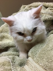 Pearl's last picture (Pearl Cat, 2001?-2017) (Philosopher Queen) Tags: pearl cat chat gato whitecat farewell goodbye