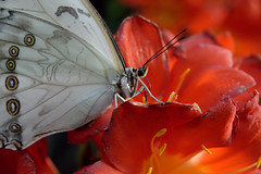 Papillons en Liberté 2017 - Photo 17 (Le Chibouki frustré) Tags: nikon nikond700 d700 700 fx fullframe montréal montreal homa hochelagamaisonneuve macro macrophotographie botanicalgarden jardinbotanique jardinbotaniquedemontréal montrealbotanicalgarden butterfly insect insects bokeh dof pdc papillonsenliberté2017 butterfliesgofree2017 closeuplens closeupfilter