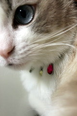 fur and finery (overthemoon) Tags: cat biscuit necklace jewellery closeup eye nose moustache ragdoll happy10years biscuitetsesbijoux