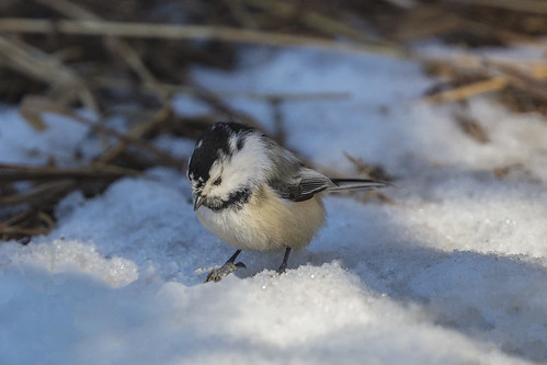 Chickadee (Peter Stahl Photography) Tags: blackcappedchickadee edmonton winter piedball leucistic piedballblackcappedchickadee
