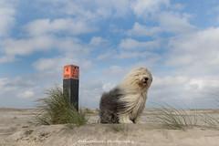 northwestern wind (dewollewei) Tags: oldenglishsheepdog oldenglishsheepdogs oes bobtail dewollewei sophieandsarah sophieensarah ameland amelandfoto waddeneilanden wind storm noordwester paal beach strand clouds wolken wadden hollum nederland netherlands sea seascape