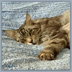 Lazy Floris (Cajaflez) Tags: pet huisdier kat kater katze chat gatto pedigree raskat mainecoon lazy sleepy lui slaperig floris tomcat coth5
