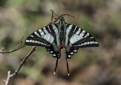 A Spring Zebra Swallowtail From The Top (Odonata457) Tags: springform zebraswallowtail eurytidesmarcellus patuxentresearchrefuge maryland