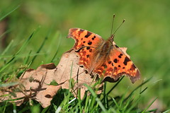 Comma butterfly (Jo Rawson!) Tags: wildlife clumber clumberpark nottinghamshire nationaltrust nature butterfly