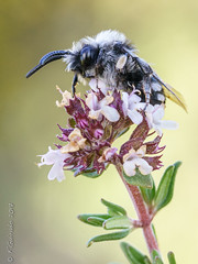 Bee-flower (F.Guirado) Tags: 2017 abeja bordeta lleida macro marzo bee macrofotografia macrophoto macrophotography macrofoto sony sonyfe90mm 90mmfe 90mm nex6 nex blur bokeh yellow