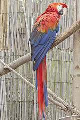 Scarlet Macaw (Inside The Hive Photography) Tags: macaw scarletmacaw