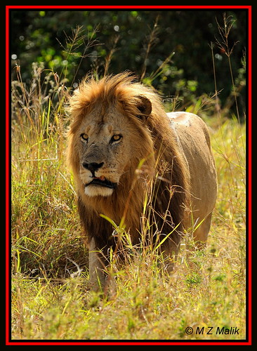 GRUMPY LOOK FROM THE KING OF JUNGLE (Panthera leo)....MASAI MARA....OCT 2012