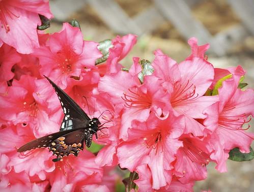 Flowers and butterflies drift in color, illuminating spring.  ~Author Unknown