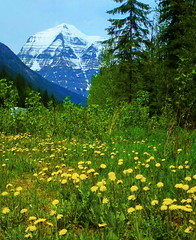 Mount Robson (peggyhr) Tags: blue trees white snow canada mountains green yellow grasses mountrobson dandelions peggyhr doubledragonawards natureisallallisnature blinkagain mountrobsonprovincialparkofbritishcolumbia p1410621a