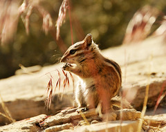 chipmunk eating grass seeds in zion national park 2013 (houstonryan) Tags: park cute grass animal print photography utah furry sandstone photographer ryan eating wildlife may houston seeds southern trail chipmunk national photograph 24 zion redrock overlook creature 2013 houstonryan