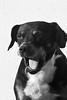 Sono (focus in desfoco) Tags: animal branco preto schultz cachorro bocejo