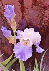Delicate Beauty Among Textures (bigbrowneyez) Tags: flowers iris nature wet beautiful ceramic ruffles outdoors design petals patterns blossoms natura fresh textures bloom elegant fiori wavy irises bello bellissimi artisticlandscapes delicatebeautyamongtextures