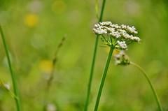 I am (Tinina67) Tags: summer plant flower june garden spring weed gardening grow tina gras garten fruehling gers seissan tinina67 aumarron