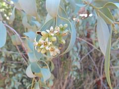 Santalum lanceolatum 6 (barryaceae) Tags: desertpark alicesprings centralaustralia australianrainforestplants australian rainforest plants species new south wales australia ausrfps santalaceae sandalwoods
