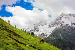 Slopes of Sonmarg ... ($) Tags: scenery meadow bluesky serenity travelphotography greenlandscape snowmountains sonmarg grazinghorse pleasantday kashmirindia lsp11photography