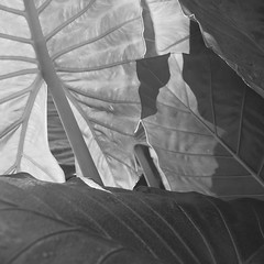 RAIN FOREST DETAILS 2 B+W (Mike Reval) Tags: bw argentina leaves forest shadows iguazu