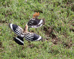 Hoopoe - these two males were having a right old ding-dong