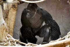DSC_0345 (Noemi D.Soos) Tags: zoo prague gorilla rebecca prag praha richard matze richy prga silverback frakfurt